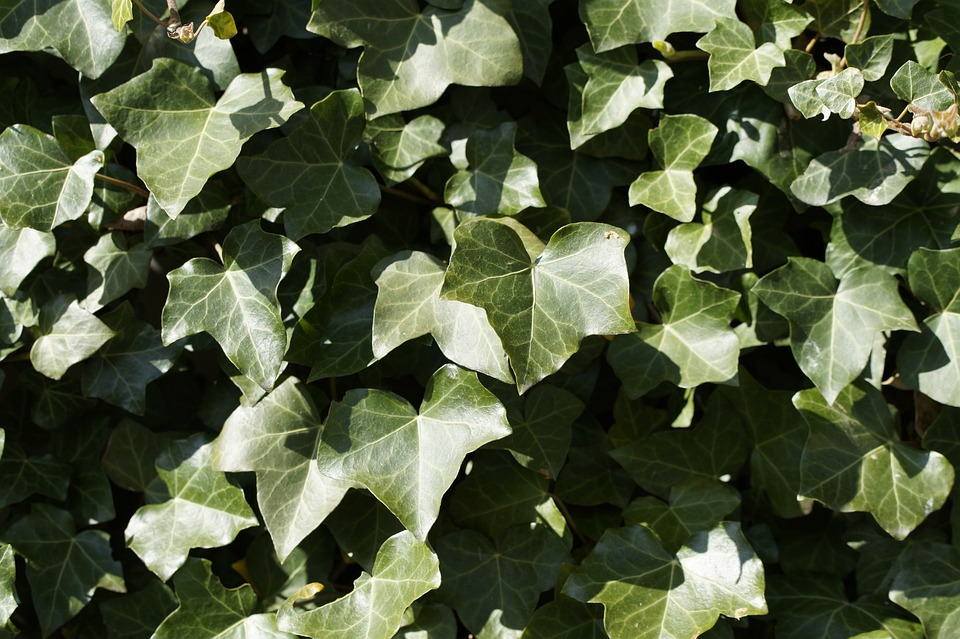 Ivy, Background, Structure, Texture, Light, Shadow