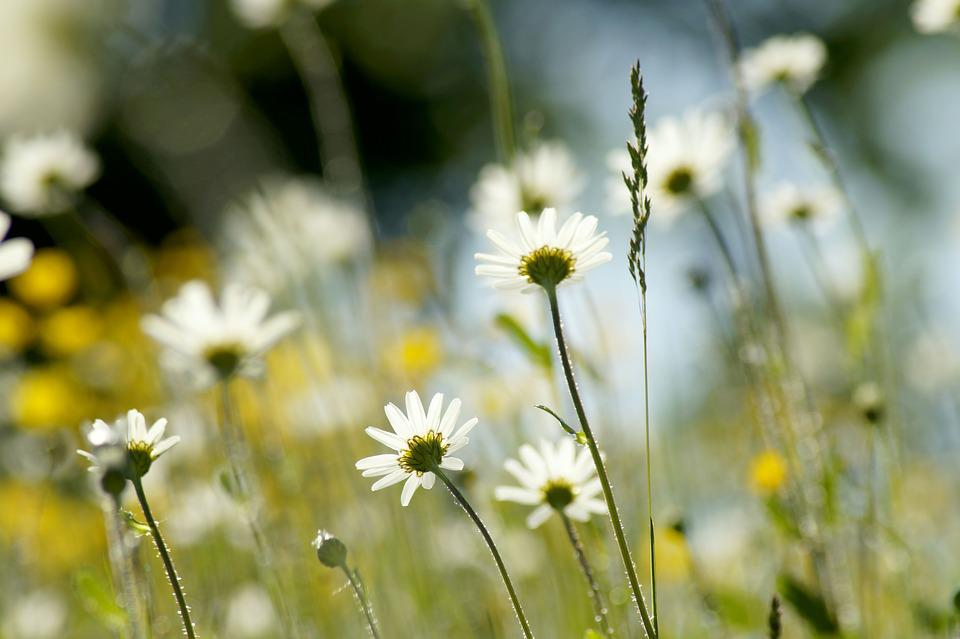 Meadow, Daisy, Background, Flower, Marguerite, Plant
