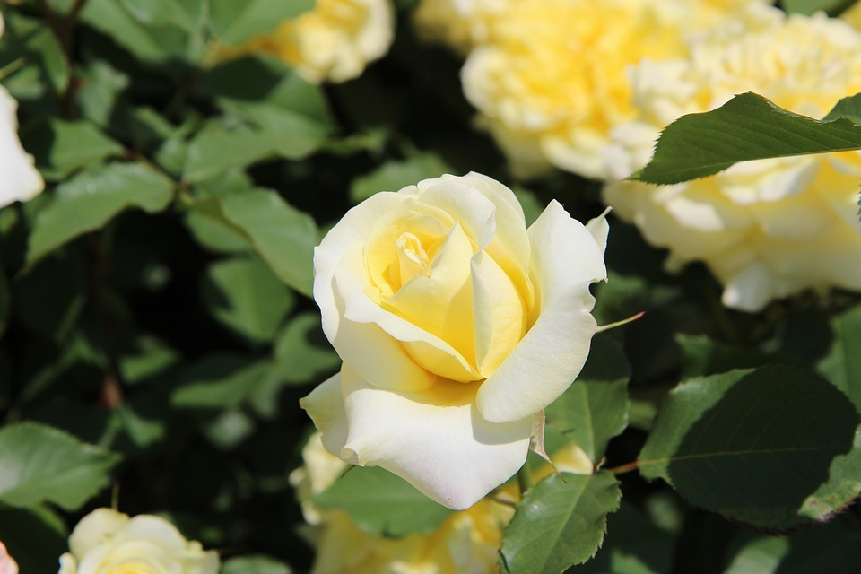 Free Photo Background Pale Yellow Summer Nature Rose Flowers Max Pixel
