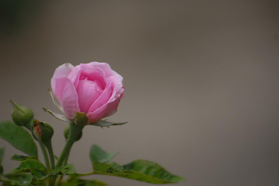 Pink Rose, Background, Green Leaf