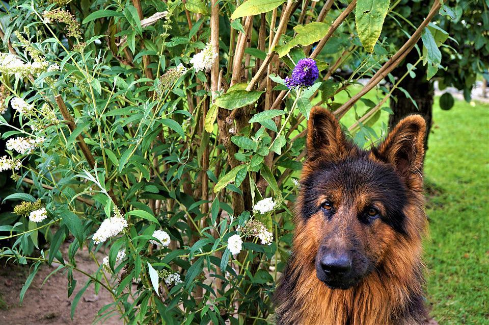 German Shepherd, Dog, Portrait, Background, Tongue