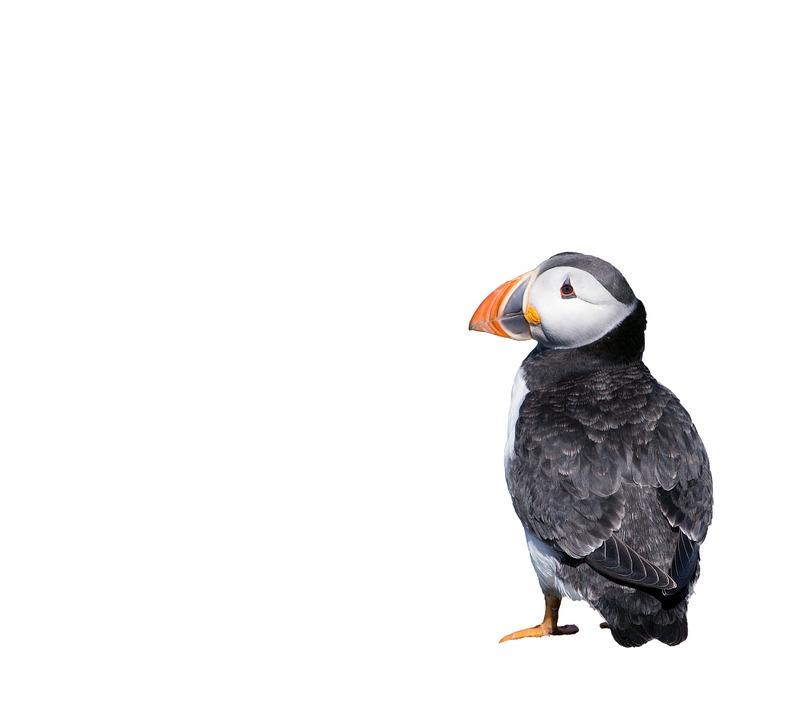 Puffin, Bird, Isolated, White, Background, Animal