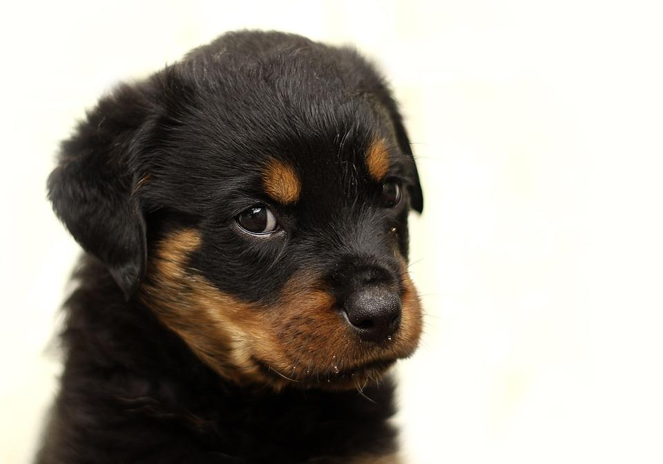 Free photo background puppy rottweiler thoroughbred dog max pixel rottweiler puppy dog background thoroughbred voltagebd Gallery