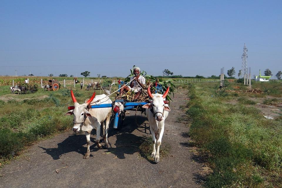 Sugarcane, Background, Bullock Cart, Transportation