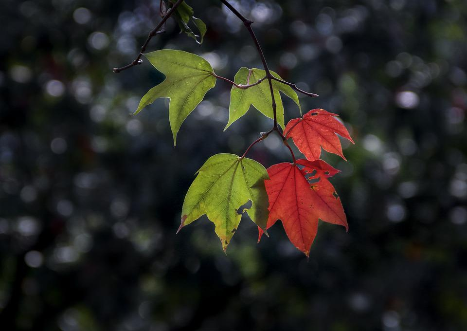 Maple Leaf, Twigs, Leaf, Tree, Light, Plant, Background
