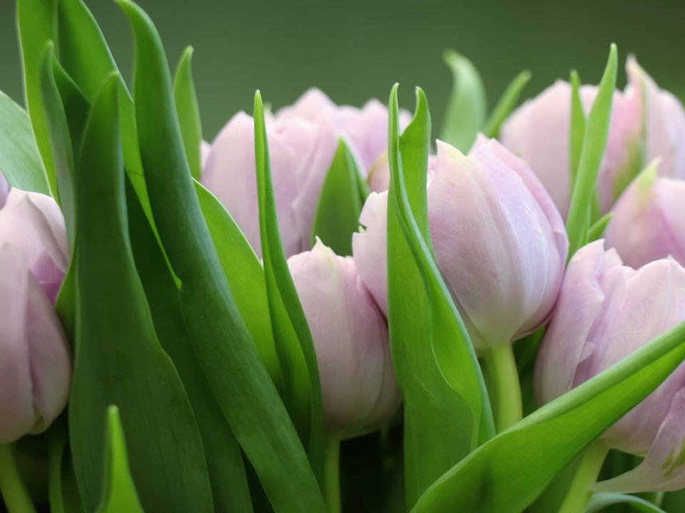 Tulips, Tulip, Pink, Green, Postcard, Background