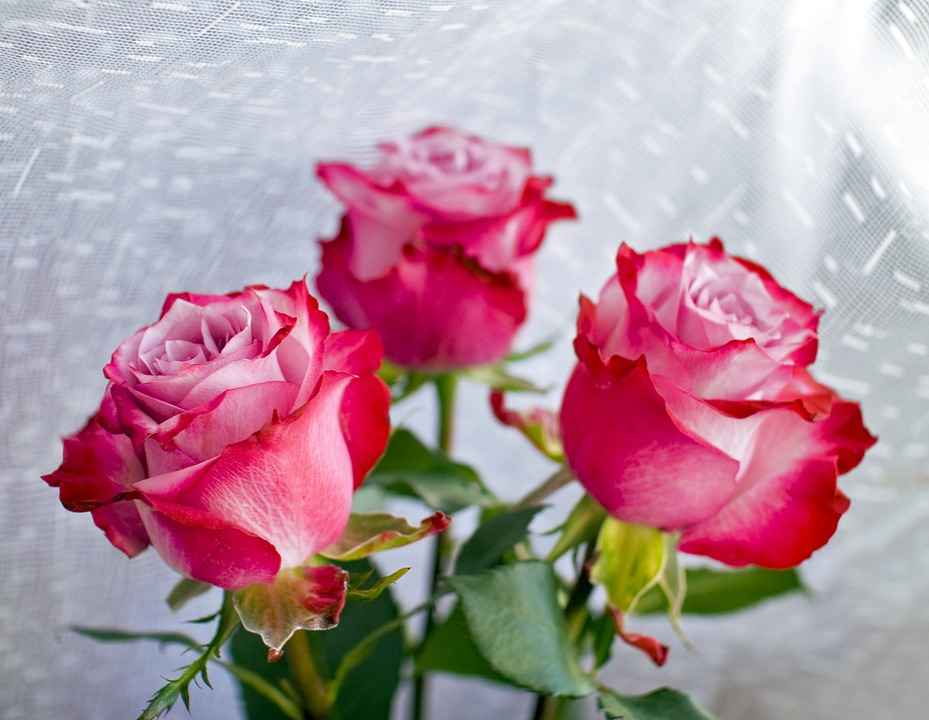 Roses, Flowers, Red, Background, Tulle