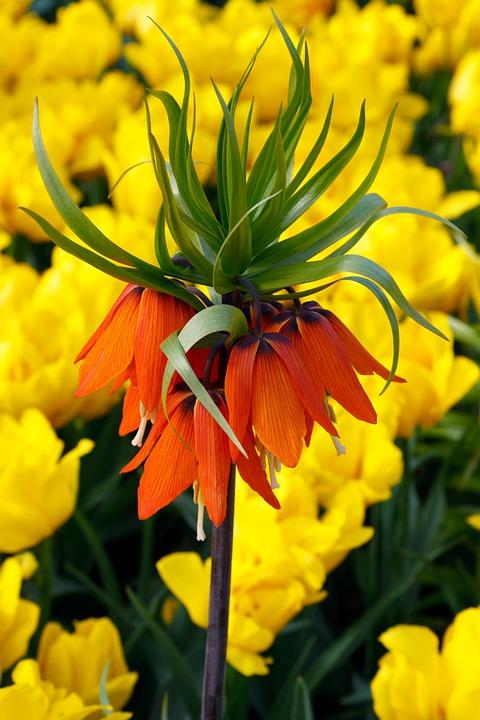 Orange, Green, Tulips, Tulip, Background, Wallpaper