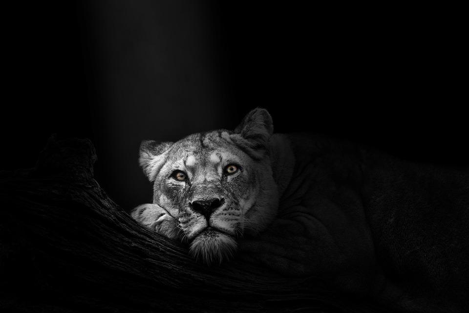 Wallpaper, Background, Lioness, Lion, Animal, Wildlife