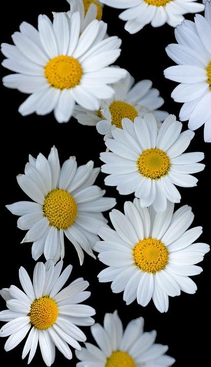 Flowers, Flower, Daisy, Daisies, White, Background