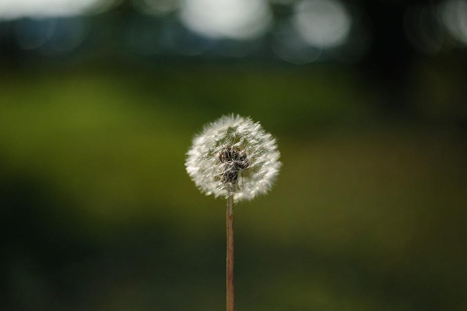 free photo backgrounds nature background bloom blowball max pixel