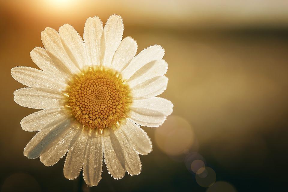 Marguerite, Flower, Backlighting, Petals, White Flower