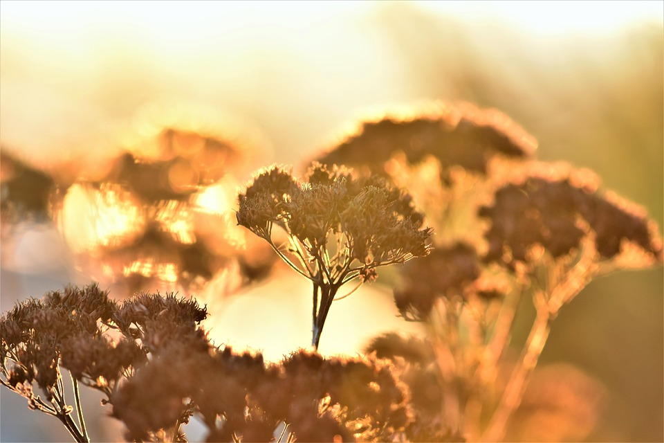 Backlighting, Mood, Plant, Dried, Fat Hen, Nature