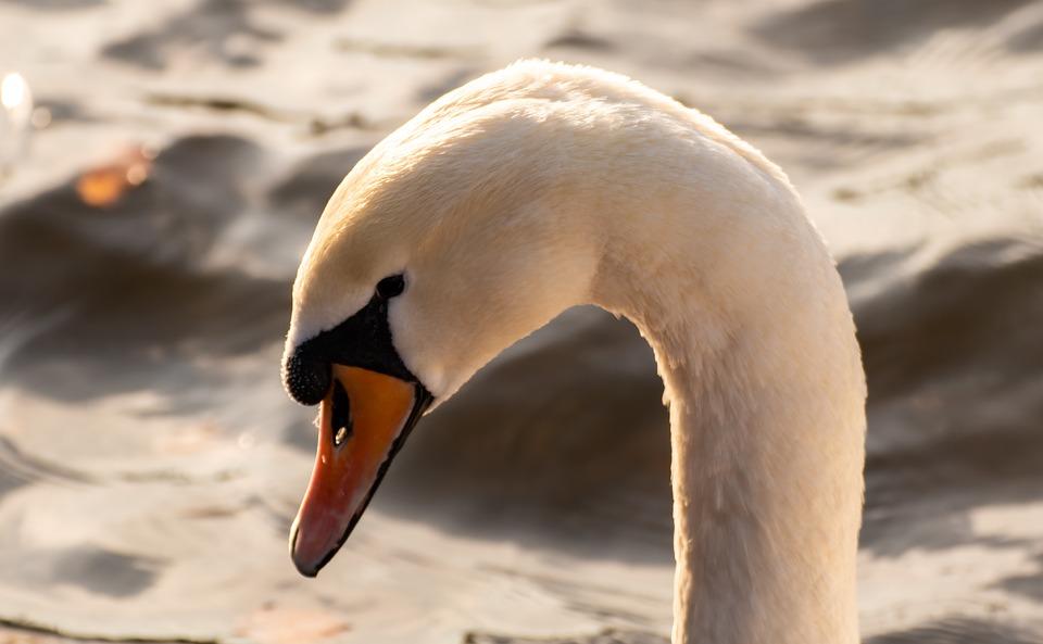 Swan, Water Bird, Schwimmvogel, Backlighting