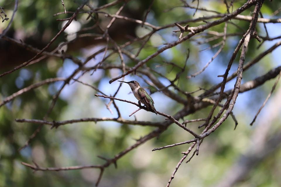 Hummingbird, Bird, Tiny, Wildlife, Backyard