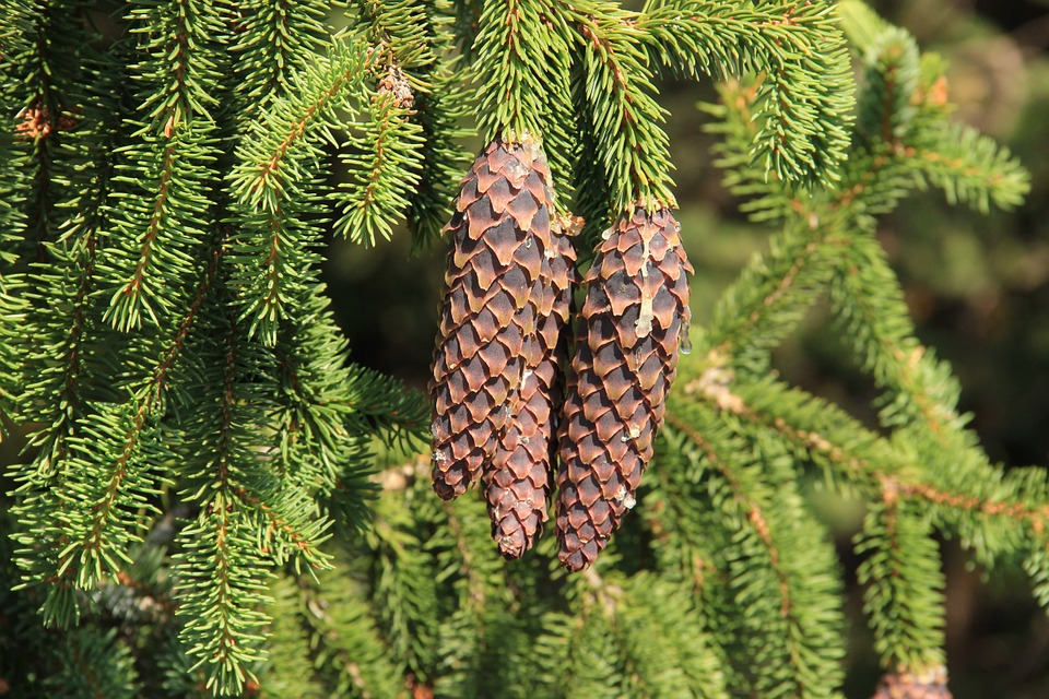 Spruce, Cone, Pine Cone, Bad Luck