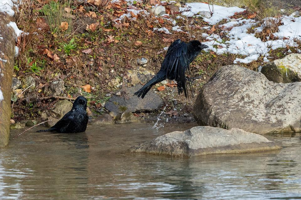 Crow, Swim, Flying, Bird, Corvidae, Bad, Water, Animal