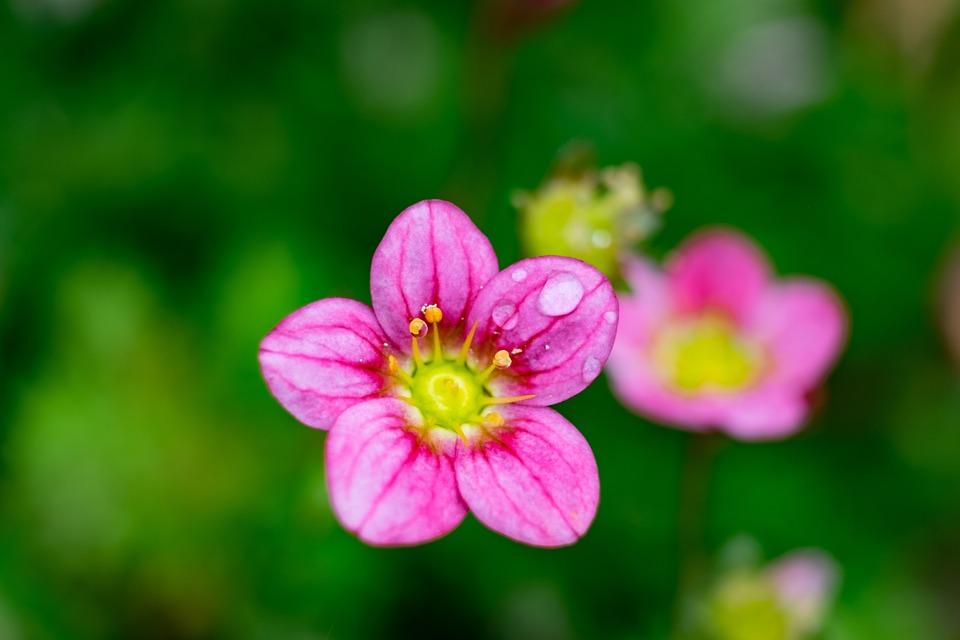 Badan, Flower, Macro, Pink, Skalnik, Spring, Garden
