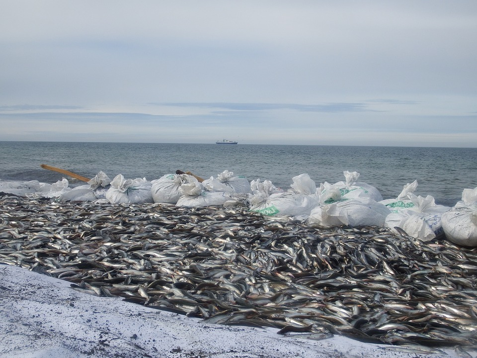 Ocean, Sea, Coast, Beach, Fishing, Fish, Capelin, Bags