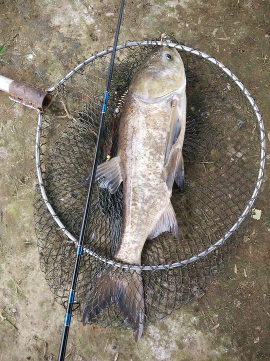 Carp, Fishing, Net, Fish, Hook, Rig, Catcher, Bait