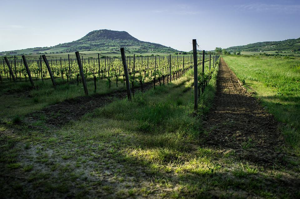 Balaton, Wine, Field, Green, Summer, Colors, Rest
