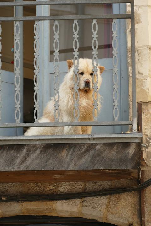 Dog, Pet, Mammal, Coat, White, Hot, Balcony, Fence