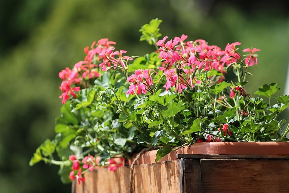 Geranium, Flowers, Balcony Plant, Red, Plant