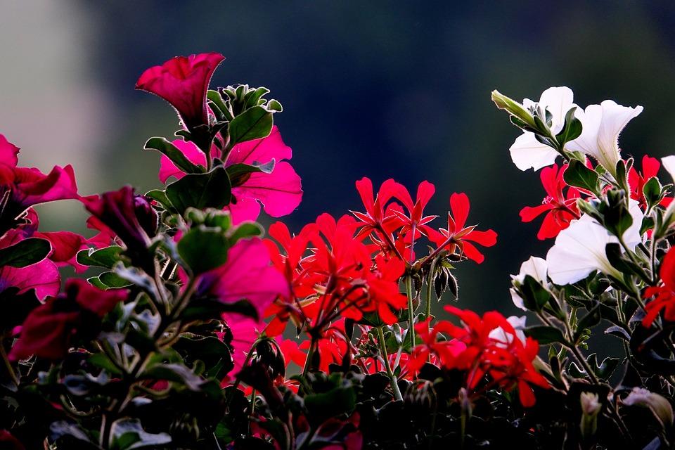 Flower, Balcony Plants, Back Light, Plant