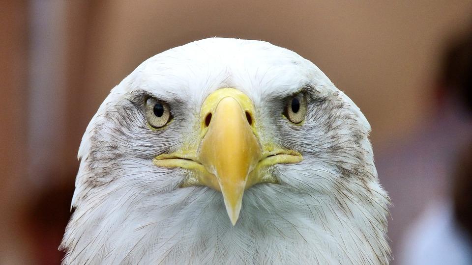 White Tailed Eagle, Adler, Bald Eagle, Close Up, Bill