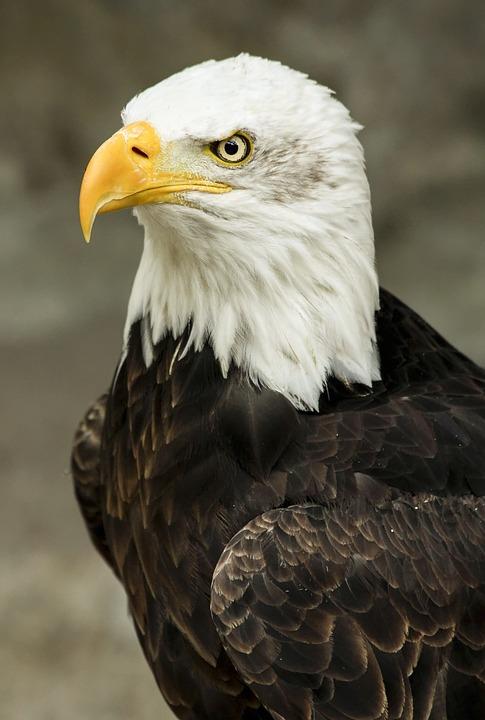 Bald Eagle, Bird, Predator, Feathered, Animal