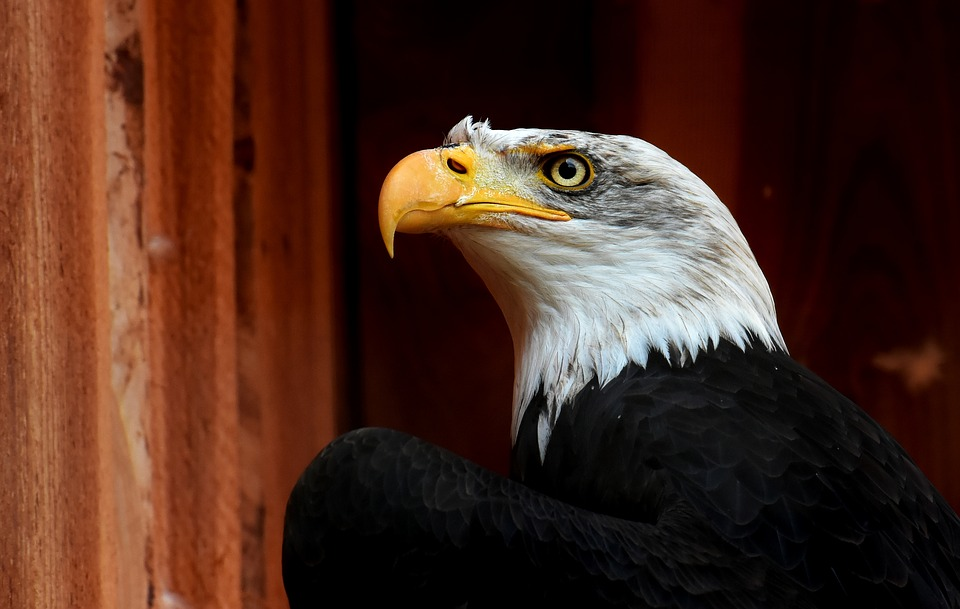 Adler, Bald Eagle, Bird, Raptor, Bird Of Prey, Bill