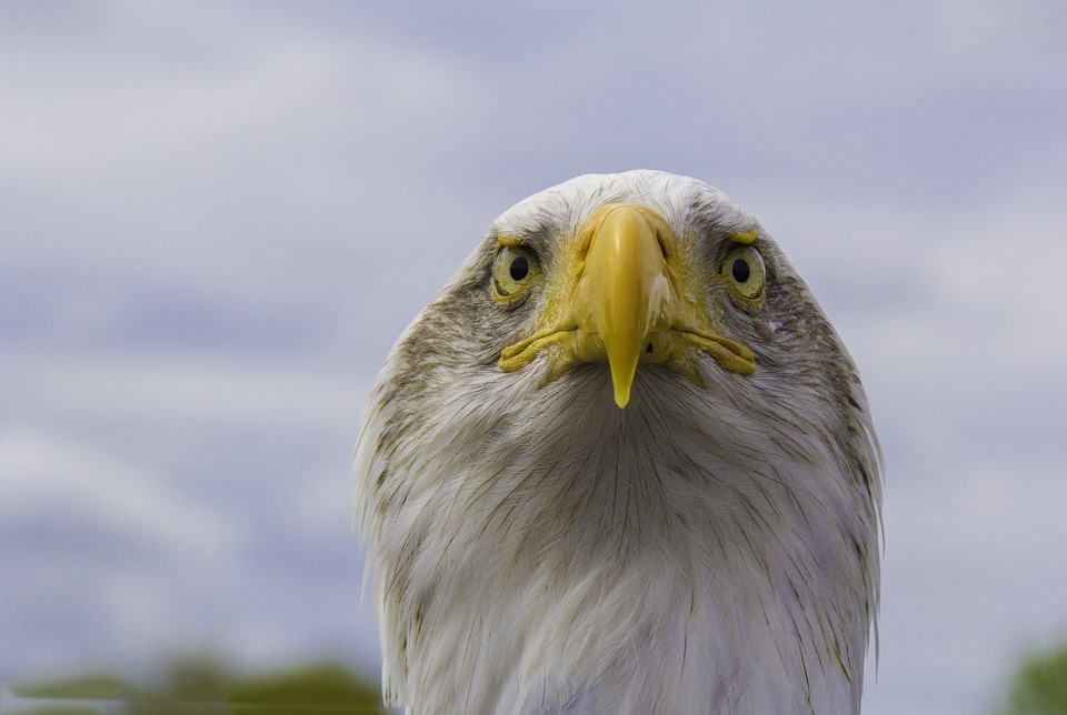 Bald Eagle, Bird, Nature, Raptor, Wildlife, Predator