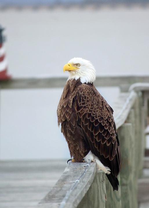 Free Photo Bald Eagle Patriotic White Blue Eagle Pier Red Max Pixel