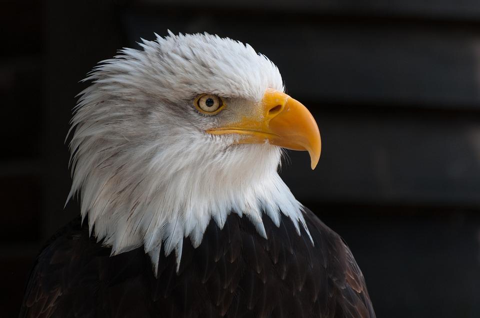 Bird, Eagle, Animal, Bald Eagle, Bird Of Prey, Raptor