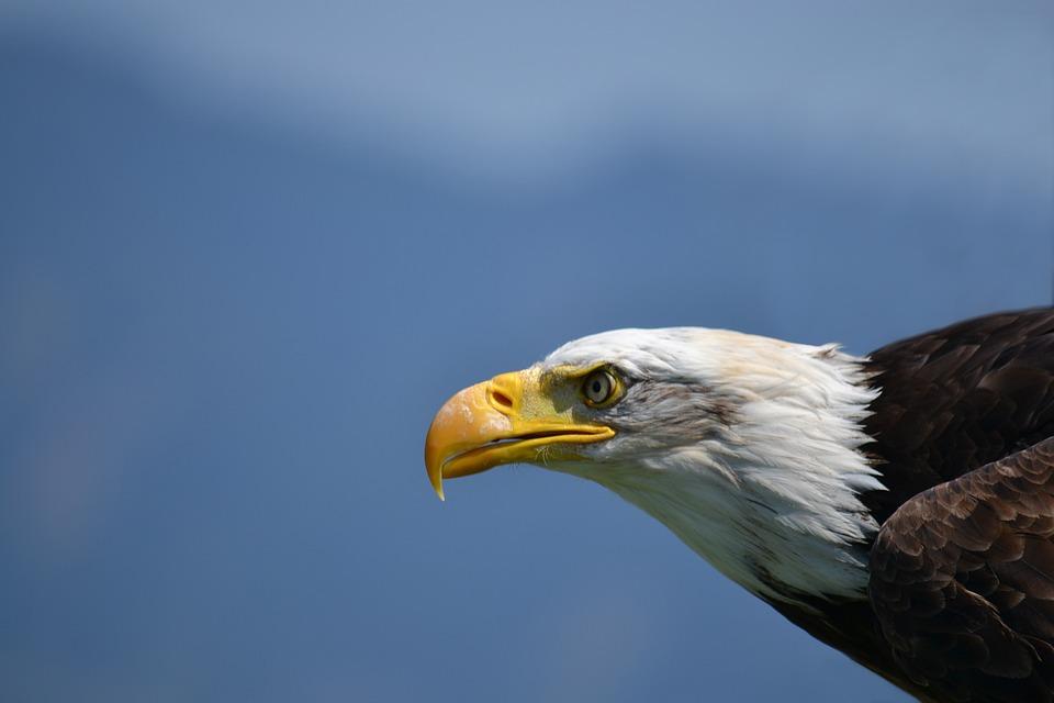Bald Eagle, White Tailed Eagle, Adler, Bird