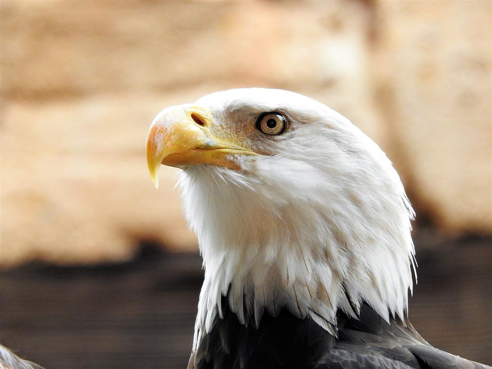 Free Photo Bald Symbol Eagle Freedom Bald Eagle American Max Pixel
