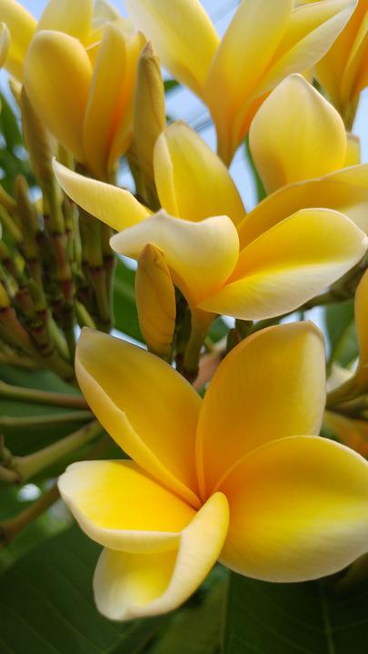 Bali, Flowers, Plants, Fresh, Yellowish, Flora