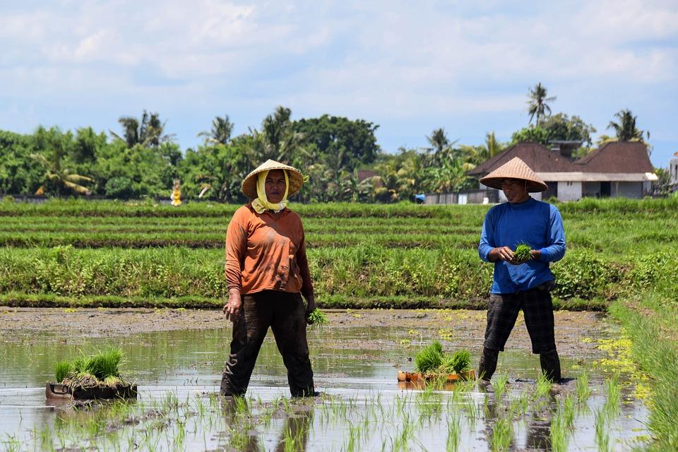 Bali, Indonesia, Rice, Rice Fields, Panorama, Landscape