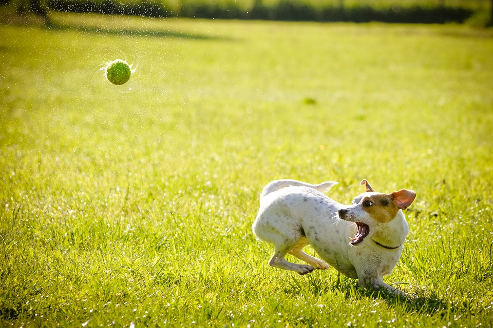 Dog, Action, Hunt, Ball