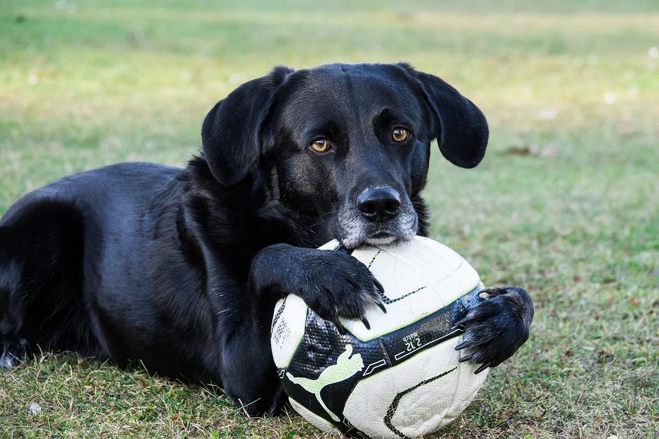 Dog, Ball, Sweet, Pose, Play, Pet, Playful, Ball Junkie