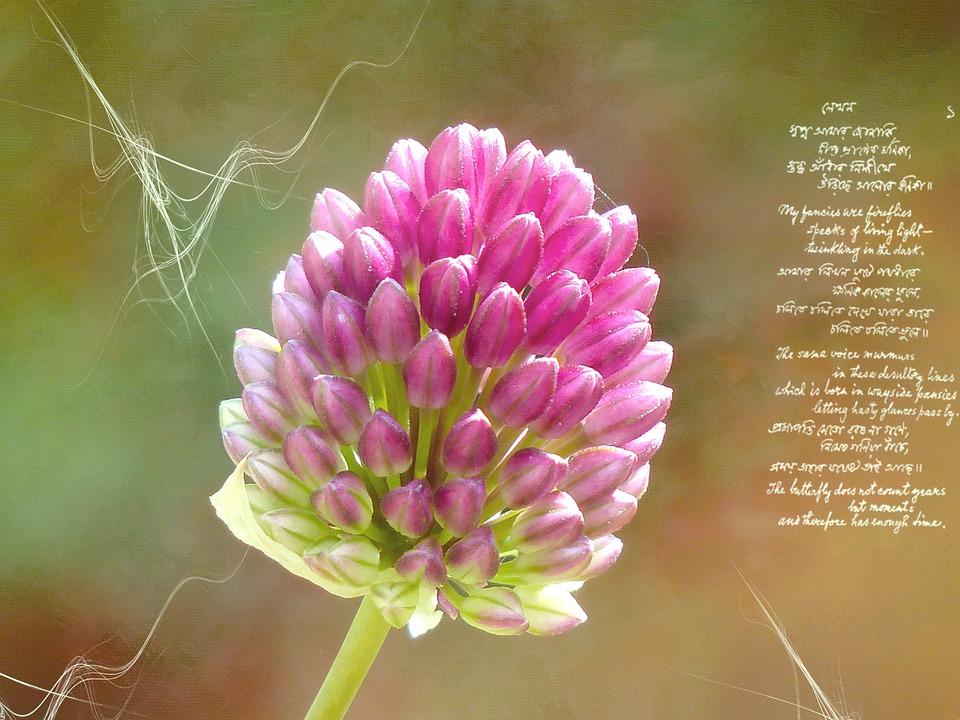 Ball Leek, Leek, Leek Flower, Blossom, Bloom, Pink