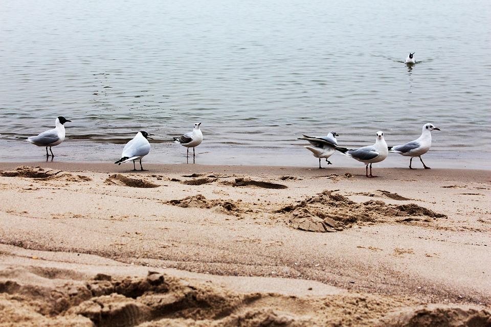 Gulls, Beach, Water, Bird, Baltic Sea, Gull, Sand Beach