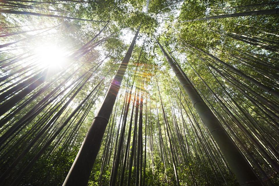Bamboo, Damyang, Sunshine