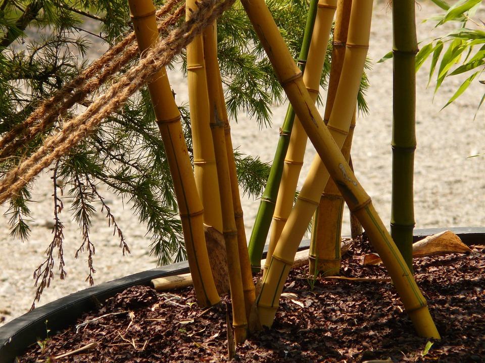 Bamboo, Bamboo Garden, Aureocaulis, Plant, Wood