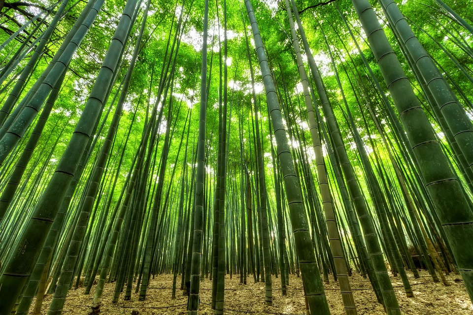 Bamboo, Trees, Green, Growth, Bamboo Trees, Forest