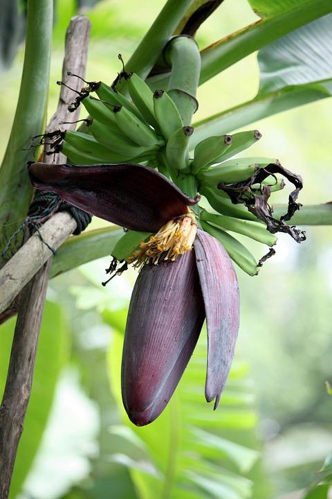 Banana, Floral, Plant, Blossom, Bloom, Petal, Botanical