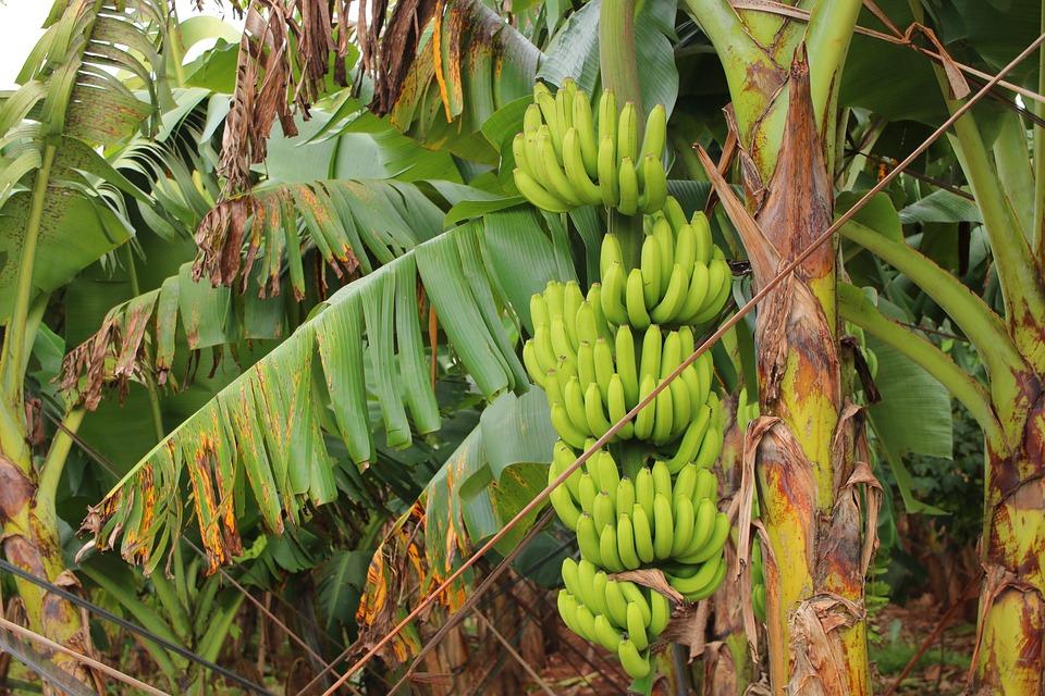 Banana Harvest, Banana Tissue Culture Harvest