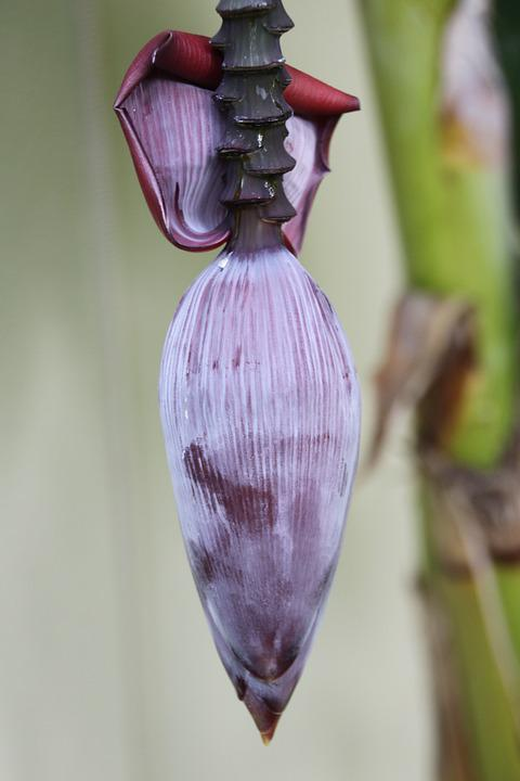 Banana Flower, Banana, Banana Shrub, Blossom, Bloom