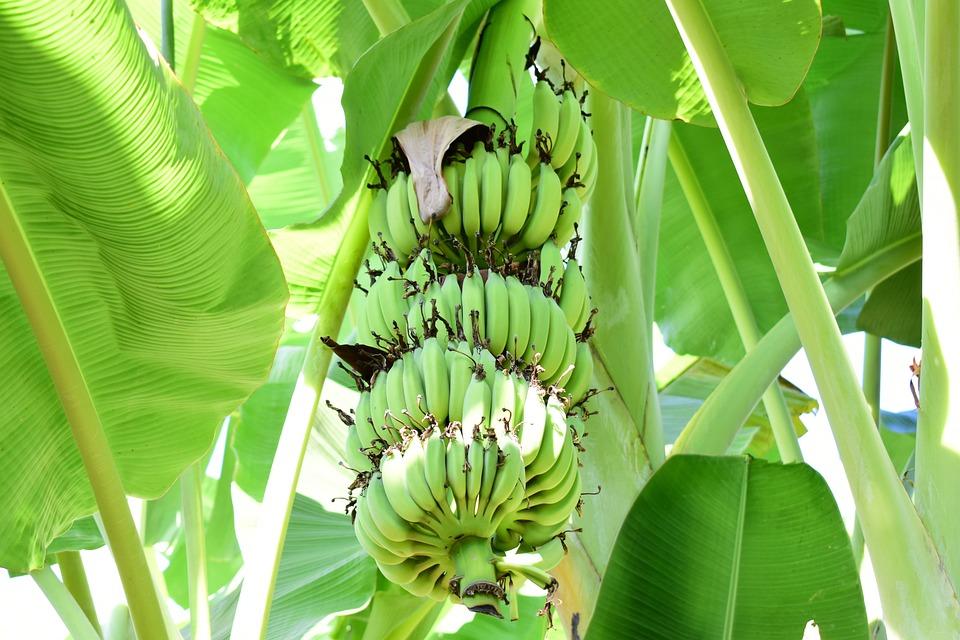 Bananas, Tons Of Bananas, Green, Banana