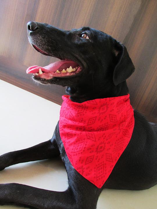 Dog, Bandanas, Pet, Grooming, Cute